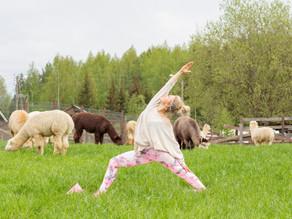 Voimaa Alpakkajoogaelämyksestä