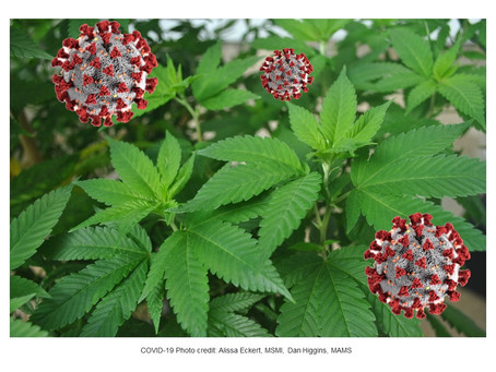 Cannabis compounds exhibit anti-inflammatory activity in vitro in COVID-19-related inflammation