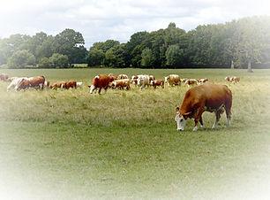 cow-3540404_1920_edited.jpg
