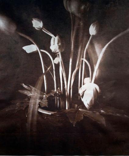 Water lily  van dykebrown print on hanji 70*60cm 2008