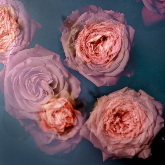 Rose  Inkjet pigment print 65*65cm 2017