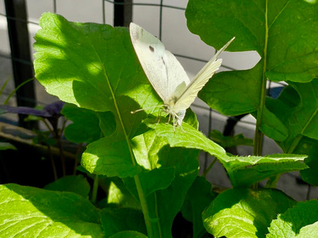 Attracting pollinators & insects in the city
