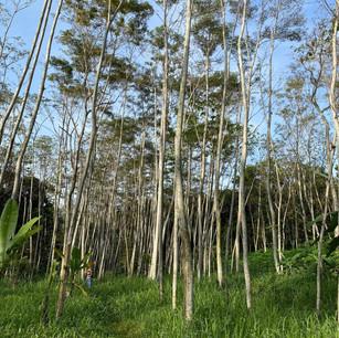 Albasia Tree.jpg