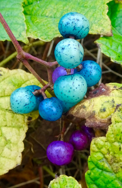 Berries in the Fall
