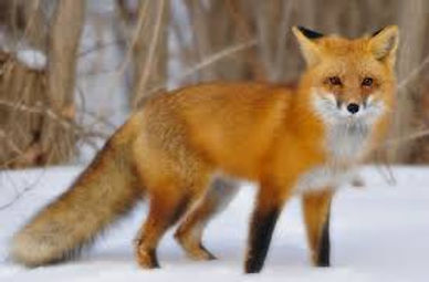 Foxes:Photo Demo.jpg