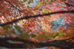 Autumn glory of Acer palmatum