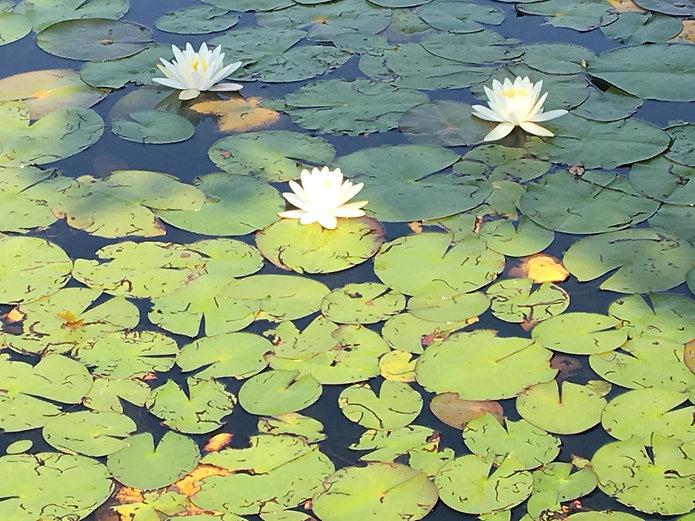 Water Lillies :Photo Demo