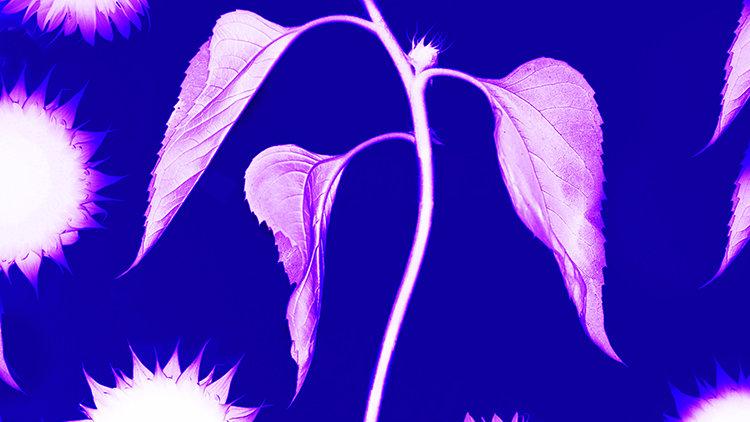 Blue Purple Sunflower