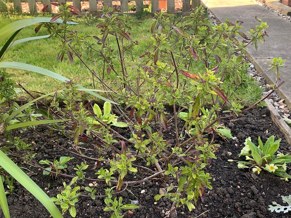 pruning salvia x jamensis shrub