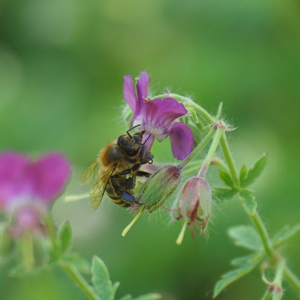 Honey Bee on Campanula persicifolia