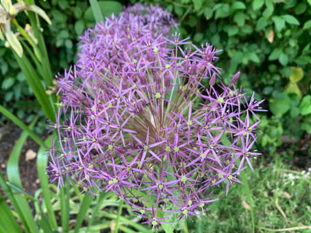 Things to do in the garden during lockdown day 70: it's all about alliums, & planning for 2021!
