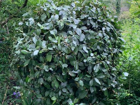 Things to do in the garden during lockdown day 80: prune spring flowering shrubs