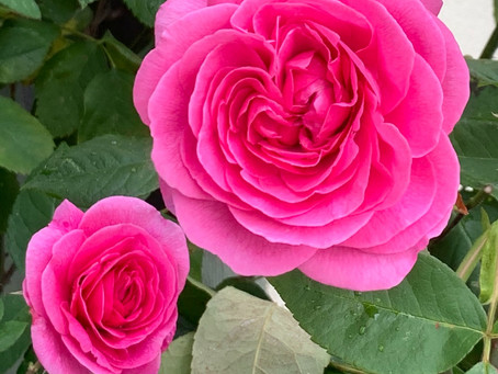Things to do in the garden during lockdown day 84: deadhead the roses