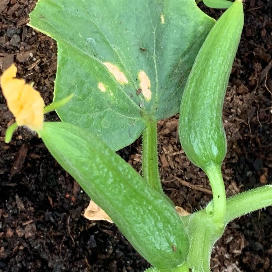 Cucumber Burpless