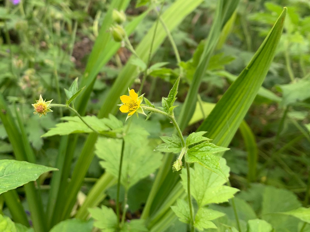 Creeping buttercup, Ranunculus repens