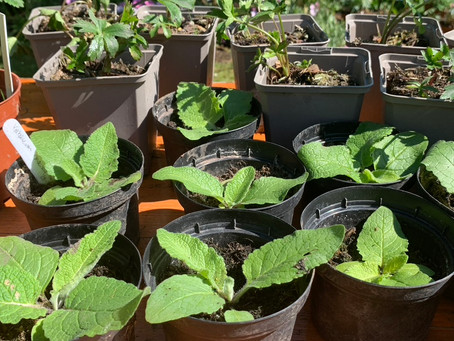 Things to do in the garden during lockdown day 65: Plant out remaining cuttings and seedlings