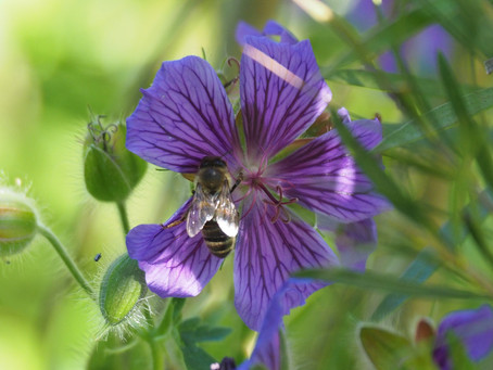 Thing to do in the garden during lockdown day 67: do a bit of bee spotting