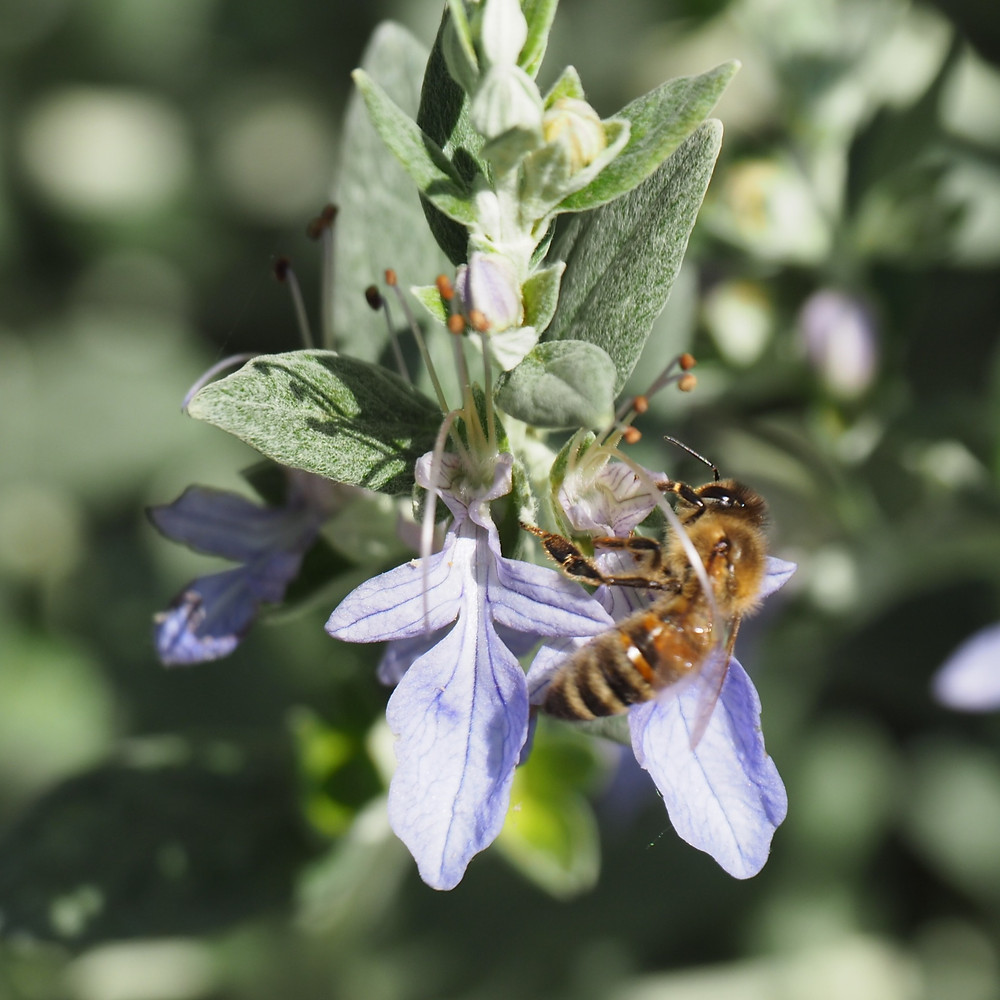 Honey bee on Teucrium fruticans