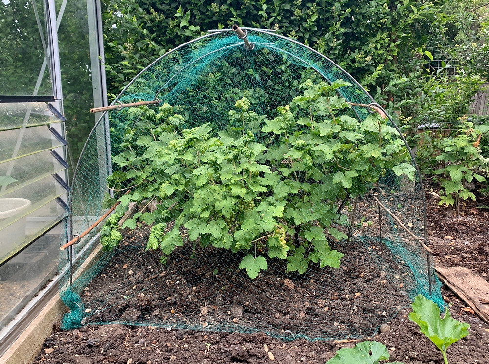 Netting red currants