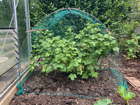 Things to do in the garden during lockdown day 73: net the red currants.