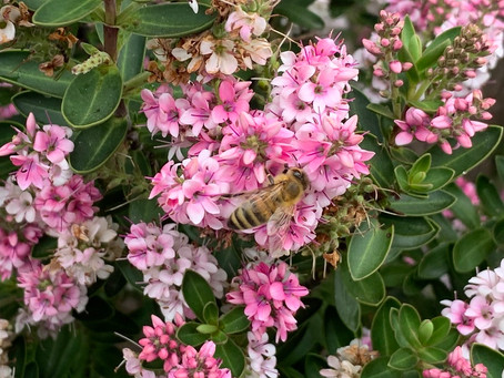 Things to do in the garden during lockdown day 100: be mindful of the pollinators
