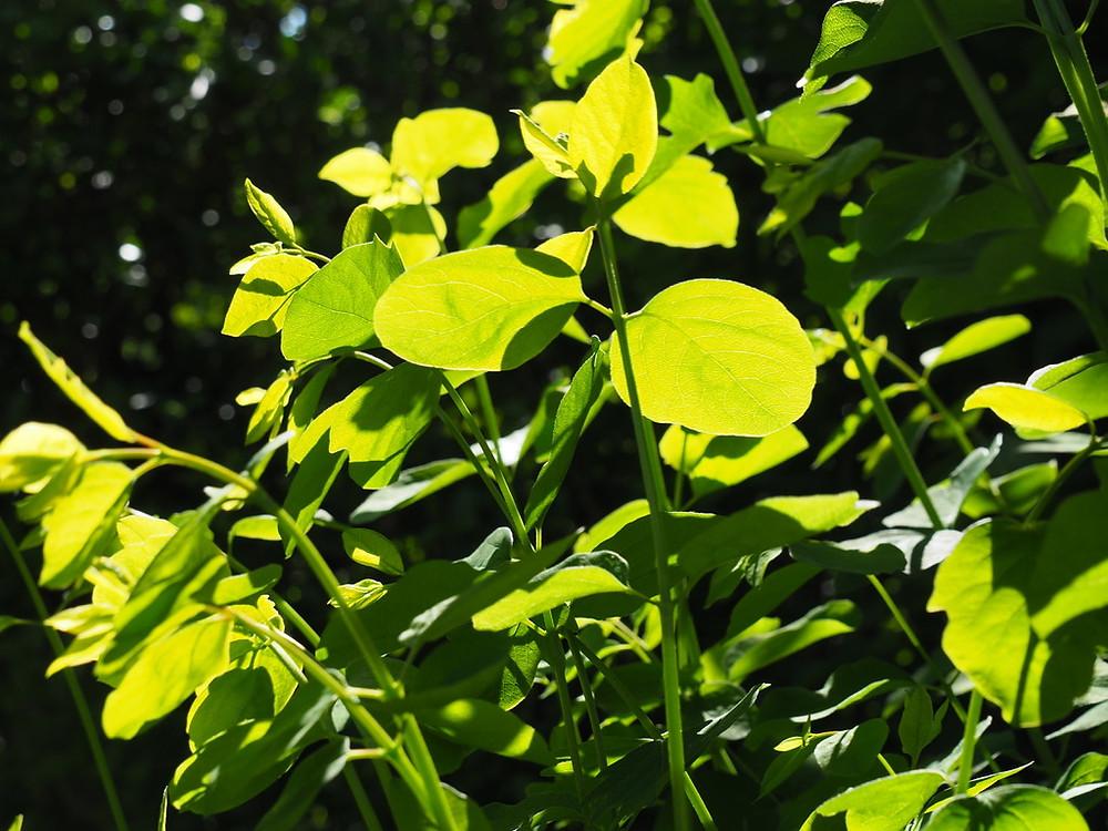 Syphoricarpus albus