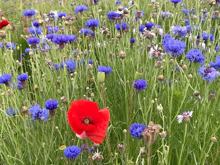 Things to do in the garden during lockdown day 77: plant, plan or visit a wildflower meadow