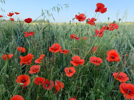 Things to do in the garden during lockdown day 97: go wild for poppies