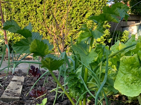 Things to do in the garden during lockdown day 69: sow carrots and parsnips - but not together