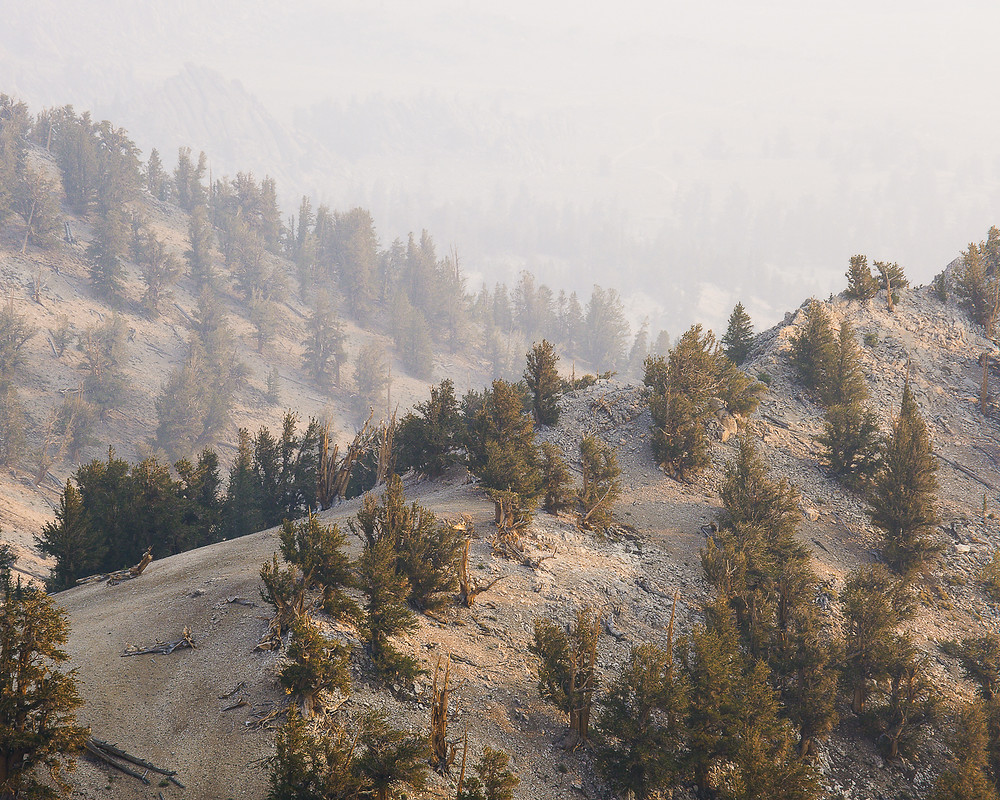 Wildfire smoke smothers ancient bristlecone pine forest.