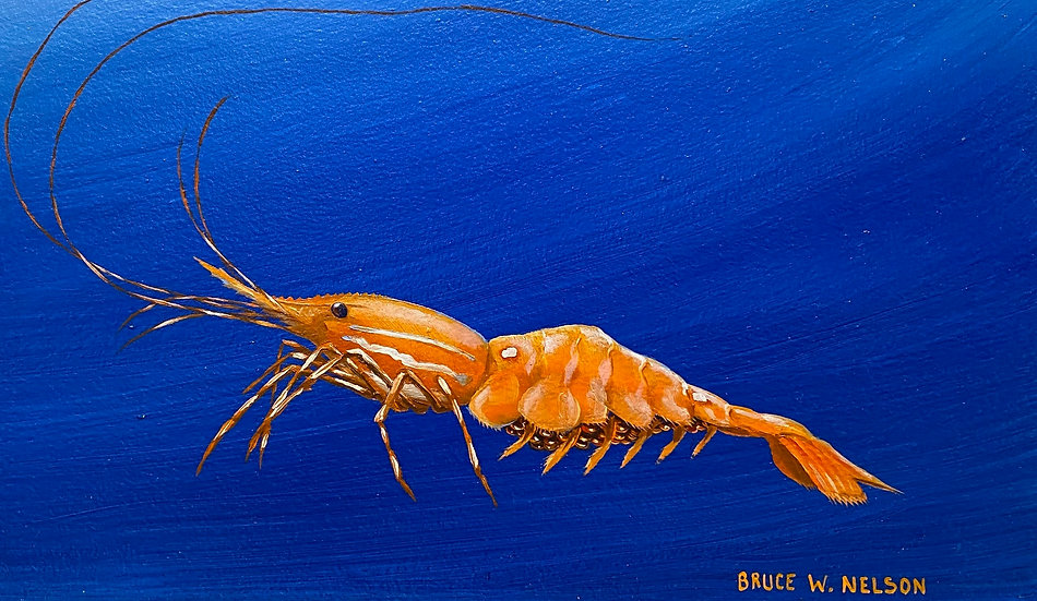 Spot prawn by Bruce Nelson