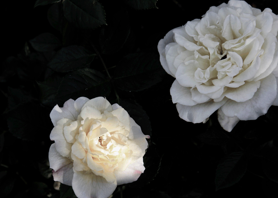 Never Enough White Roses