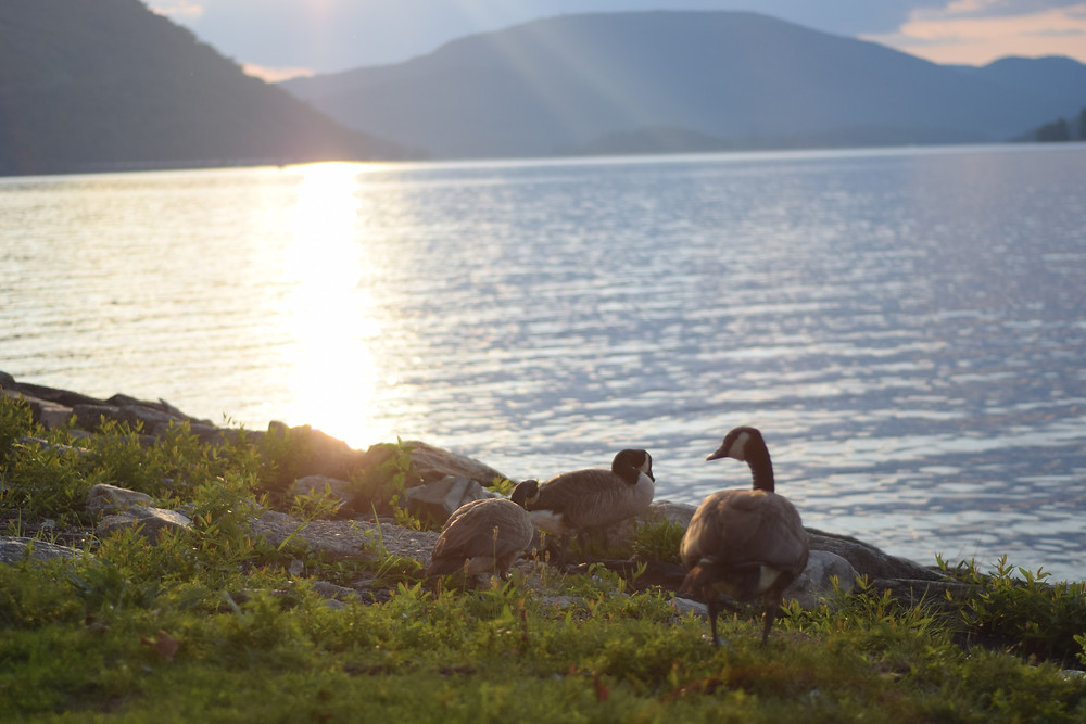 geese along the hudson river