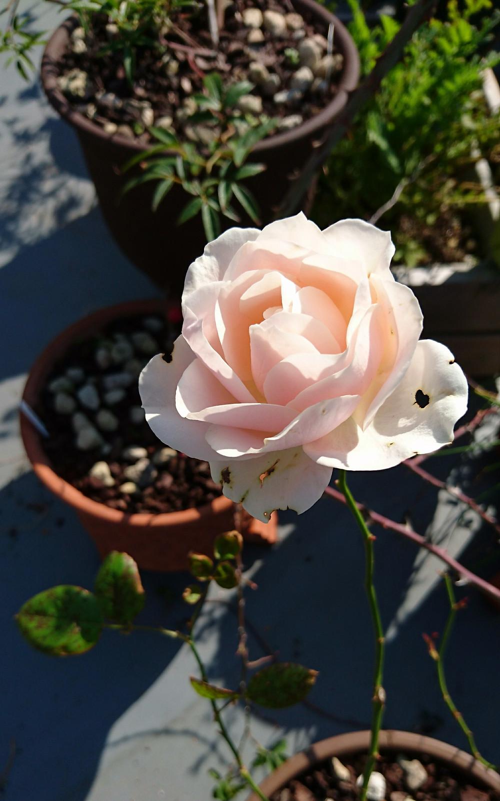 フユソウビ 冬薔薇