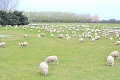 ずーっと向こうまで羊 ニュージーランドの羊 シャポーチホレーヌ鎌倉ハンドフェルト