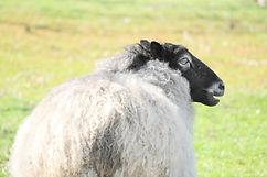 Gottland sheepのGottyさん ニュージーランドの羊 シャポーチホ