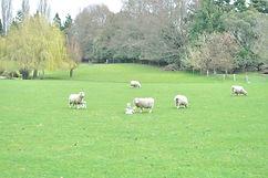 子ひつじ母ひつじみんな仲良し ニュージーランドの羊親子 シャポーチホレーヌ鎌倉ハ