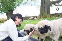 The world quetest sheep! Valais Blacknosesheep ヴァレーブラックノーズシープに会えました