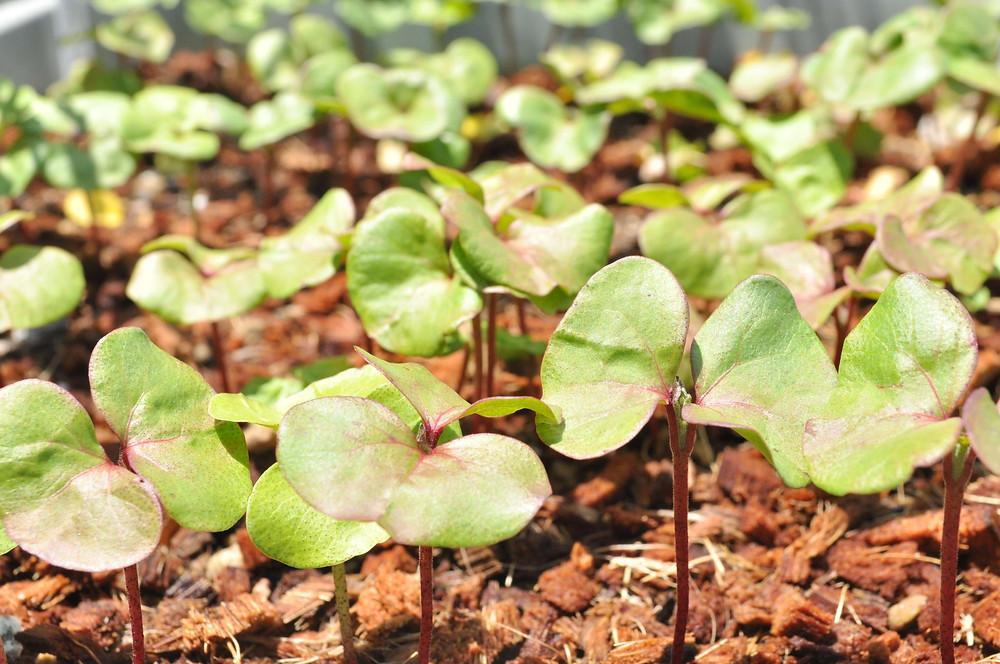Chiholaine 棉の種 無料 和棉 和綿 無農薬の種 オーガニックコットン