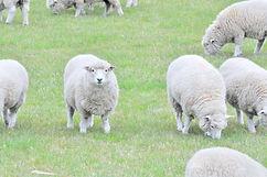 あの子だけこっちを向いて ニュージーランドの羊 もこもこ  シャポーチホレーヌ鎌倉ハンドフェルトの帽子