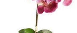 Orquídea Magenta-Viejo