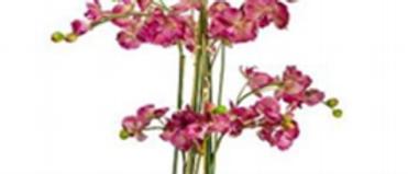 Orquídea Magenta