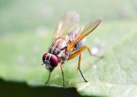 0fruitfly.jpg