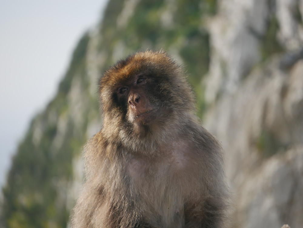 Gibraltar- Barbary Apes