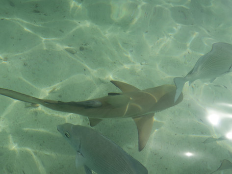 Langkawi   Swimming With Sharks