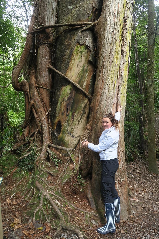 Giant tree at Pancake Rocks