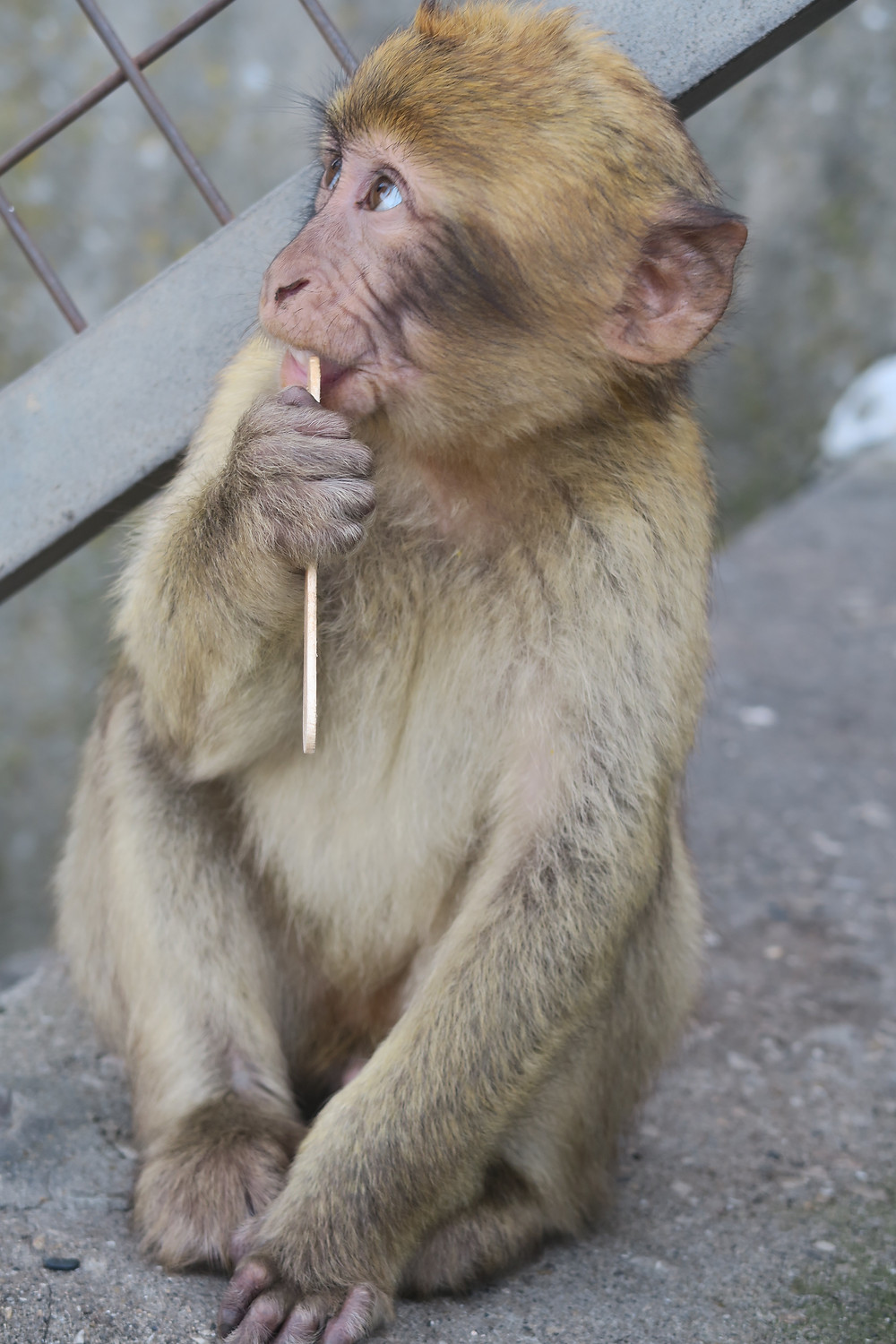 Gibraltar- Barbary Apes