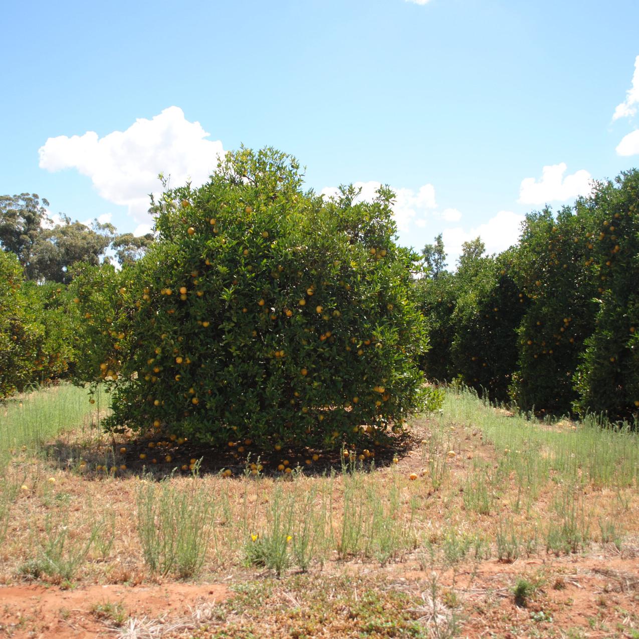 Griffith- orange trees