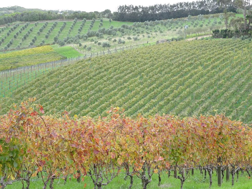 Waiheke vinyards