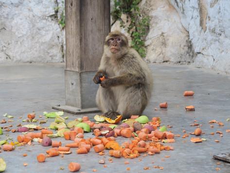 Gibraltar | Monkeying Around